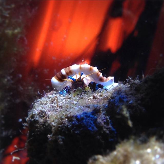 Hermit Crab Herbie