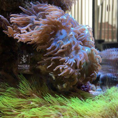 duncanopsammia-mister-nano-reef02
